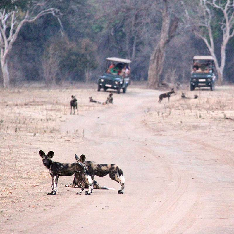bushlife-safaris-mana-pools-game-drive-wild-dog