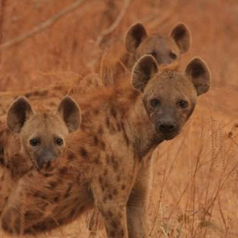little-vundu-mana-pools-hyena