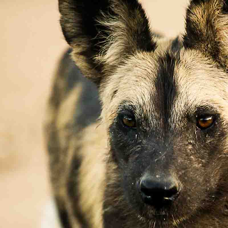 little-vundu-mana-pools-wild-dog