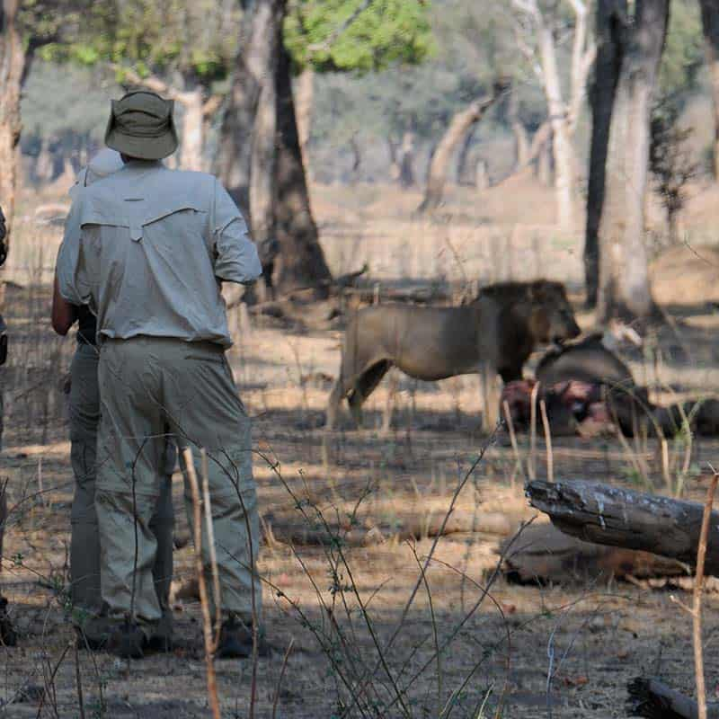 vundu-camp-mana-pools-lion-kill