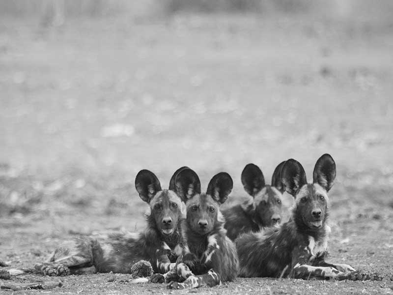 bushlife-safaris-nyakasanga-wild-dog-1