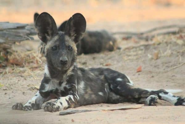 bushlife-safaris-nyakasanga-wild-dog-2