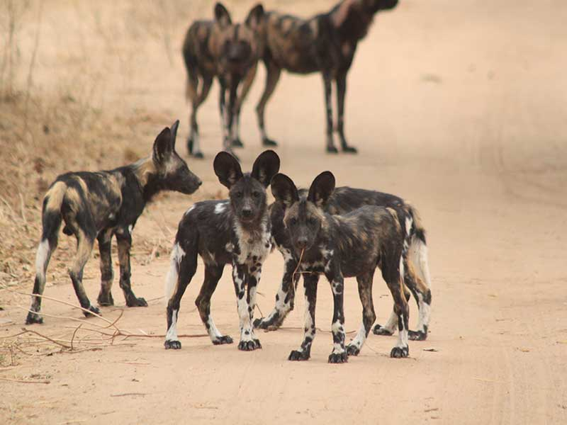 bushlife-safaris-nyakasanga-wild-dog-3