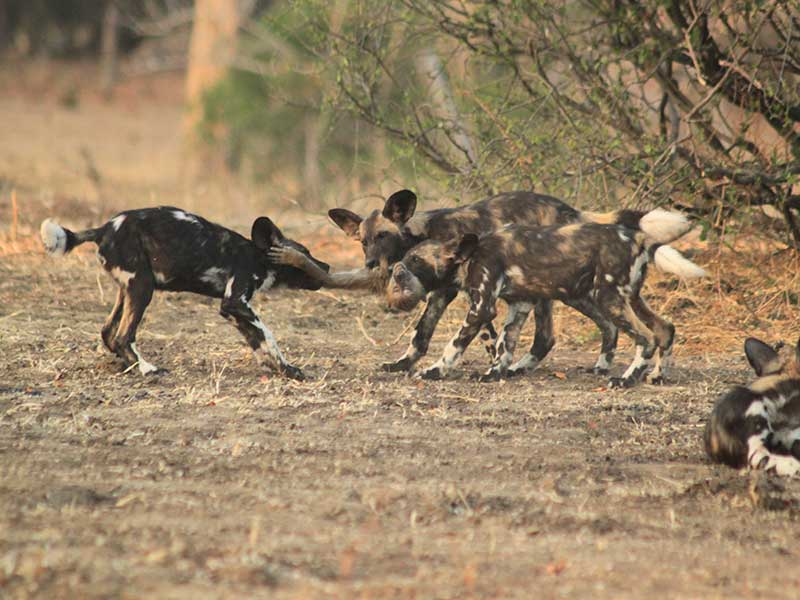 bushlife-safaris-nyakasanga-wild-dog-4