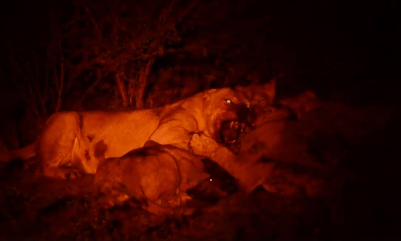 Lion Kill Vundu Camp