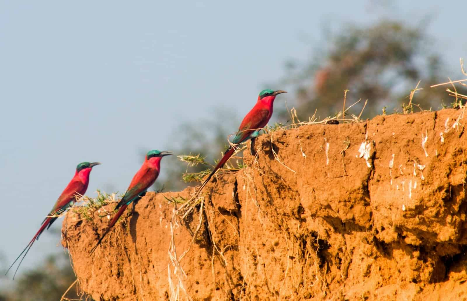 Bushlife Safaris Carmine Bee Eaters