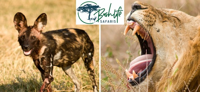 Bushlife Safaris Wild Dogs & Lion