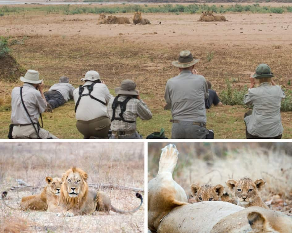Lions Bushlife Safaris Mana Pools