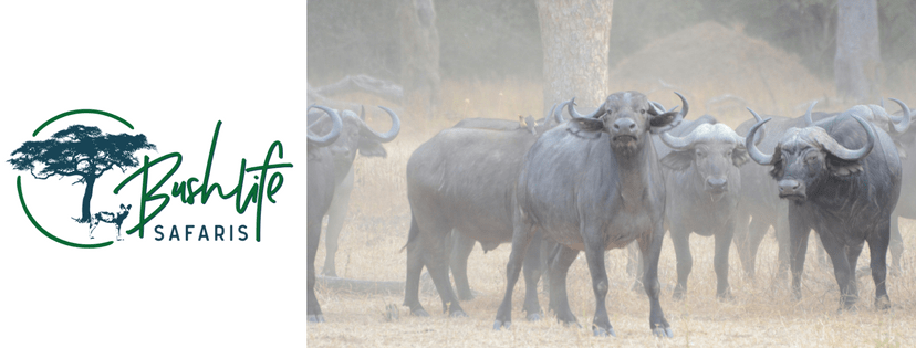 Bushlife Safaris Buffalo