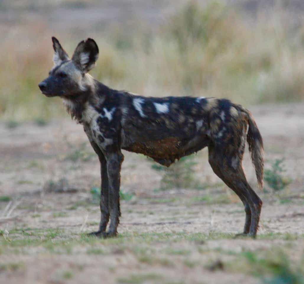 tait 10.5 years old Painted Wolves Mana Pools