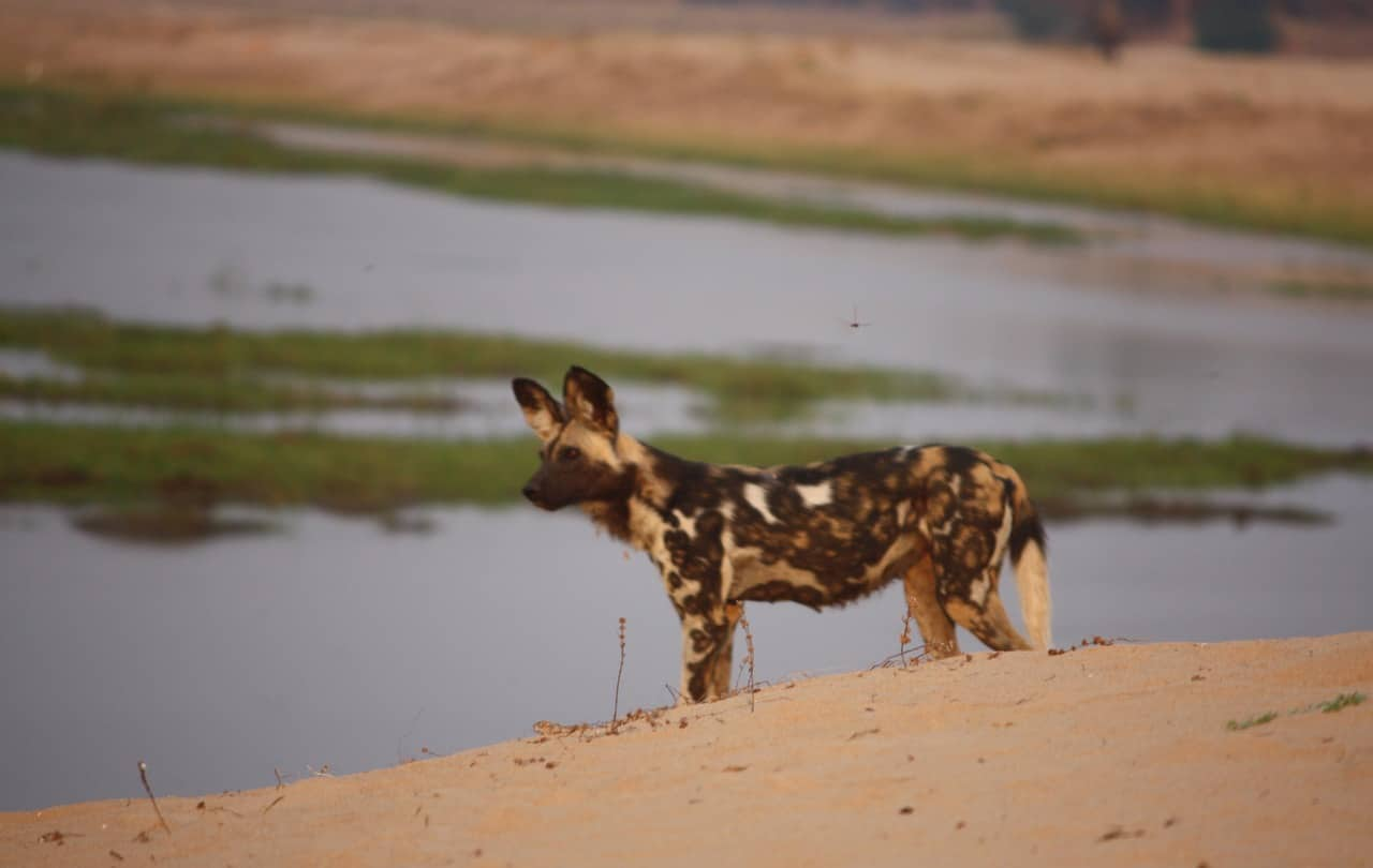 Tait 2009 Mana Pools Painted Wolves