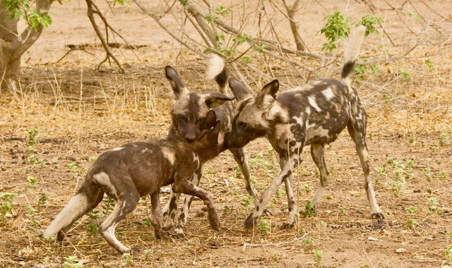 Vundu Tait 3 years Mana Pools Wild Dogs