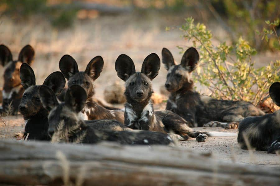 Bushlife Safaris Wilddog -Smell2