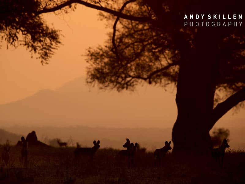 Painted Wolves & Sunset Mana Pools - Andy Skillen Photography