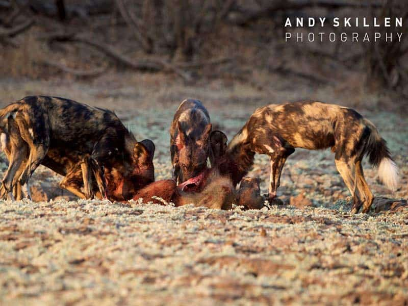 Painted Wolves Feast Mana Pools - Andy Skillen Photography