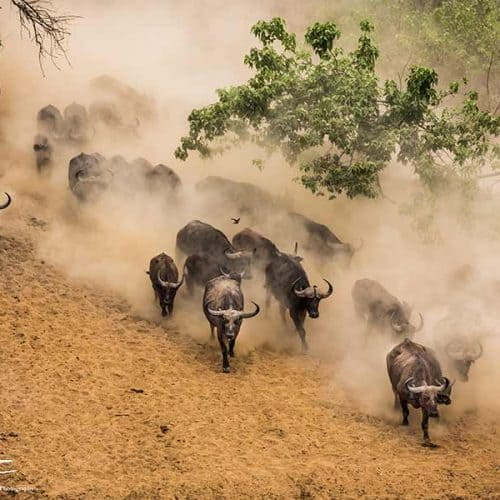 Annamaria Gremmo - Buffalos Bushlife Safaris
