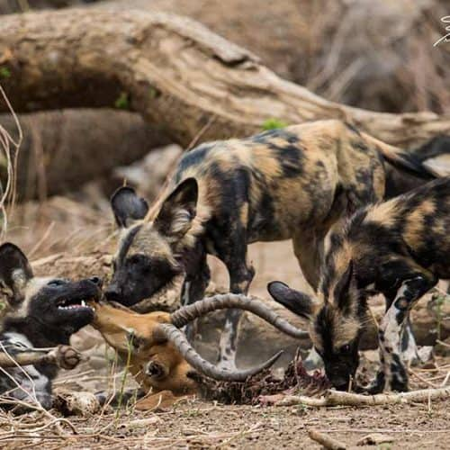 Annamaria Gremmo - Painted Dogs Bushlife Safaris