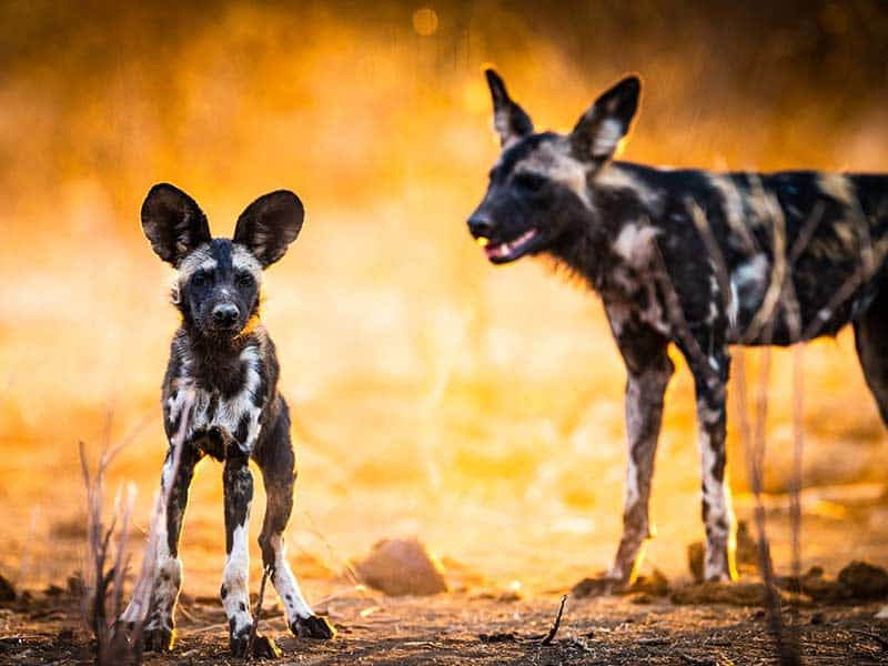 Painted Dogs Bernard De Becker Wildlife Photography