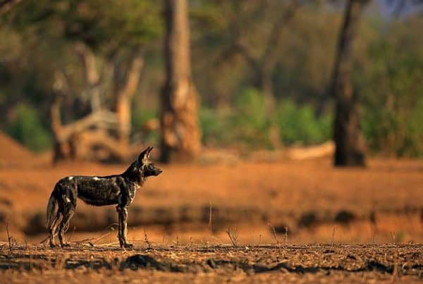 Painted Dog Bret Charman Wildlife Photography