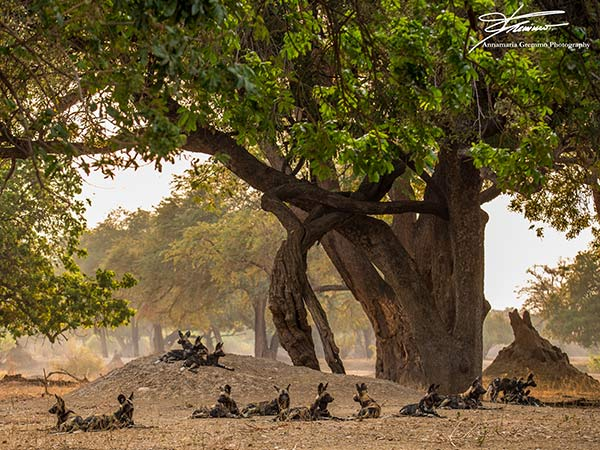 Game Viewing Mana Pools national Park