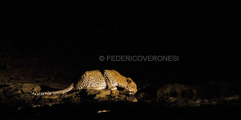 Leopard drinking at night Federico Veronesi Photography Mana Pools