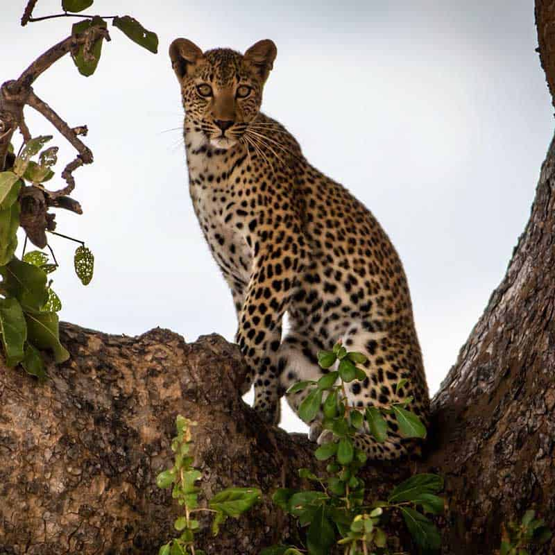 Little Vundu Camp Bushlife Safaris Leopard