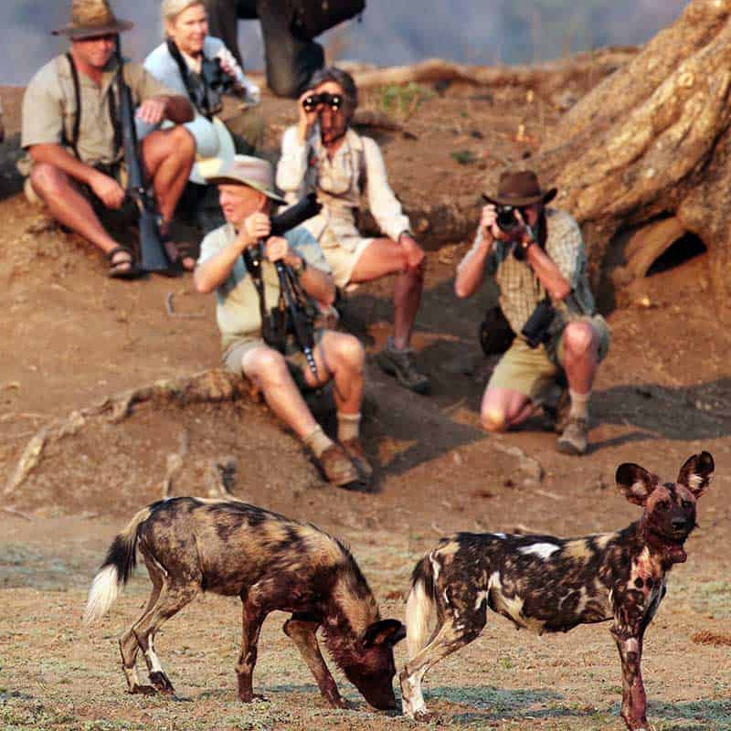 Little Vundu Camp Bushlife Safaris walking safaris wild dog
