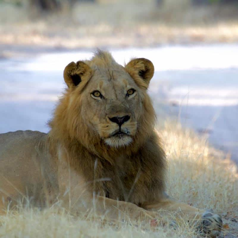 Vundu Camp Bushlife Safaris Lion