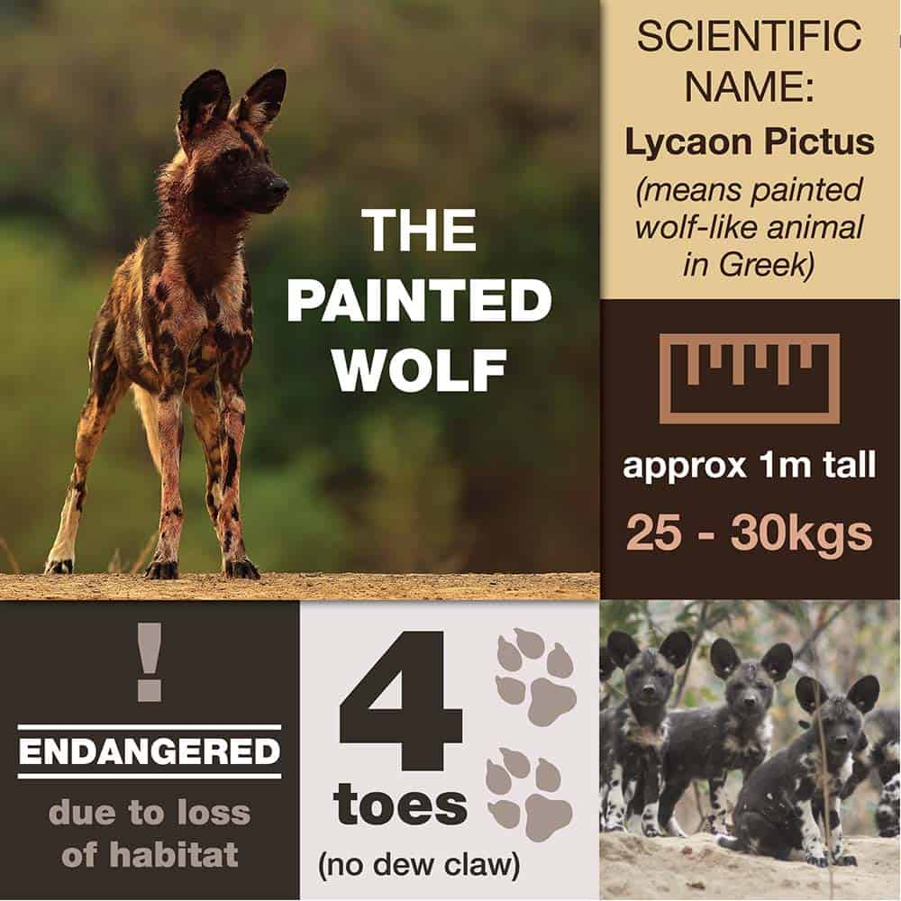 The Lycaon Pictus