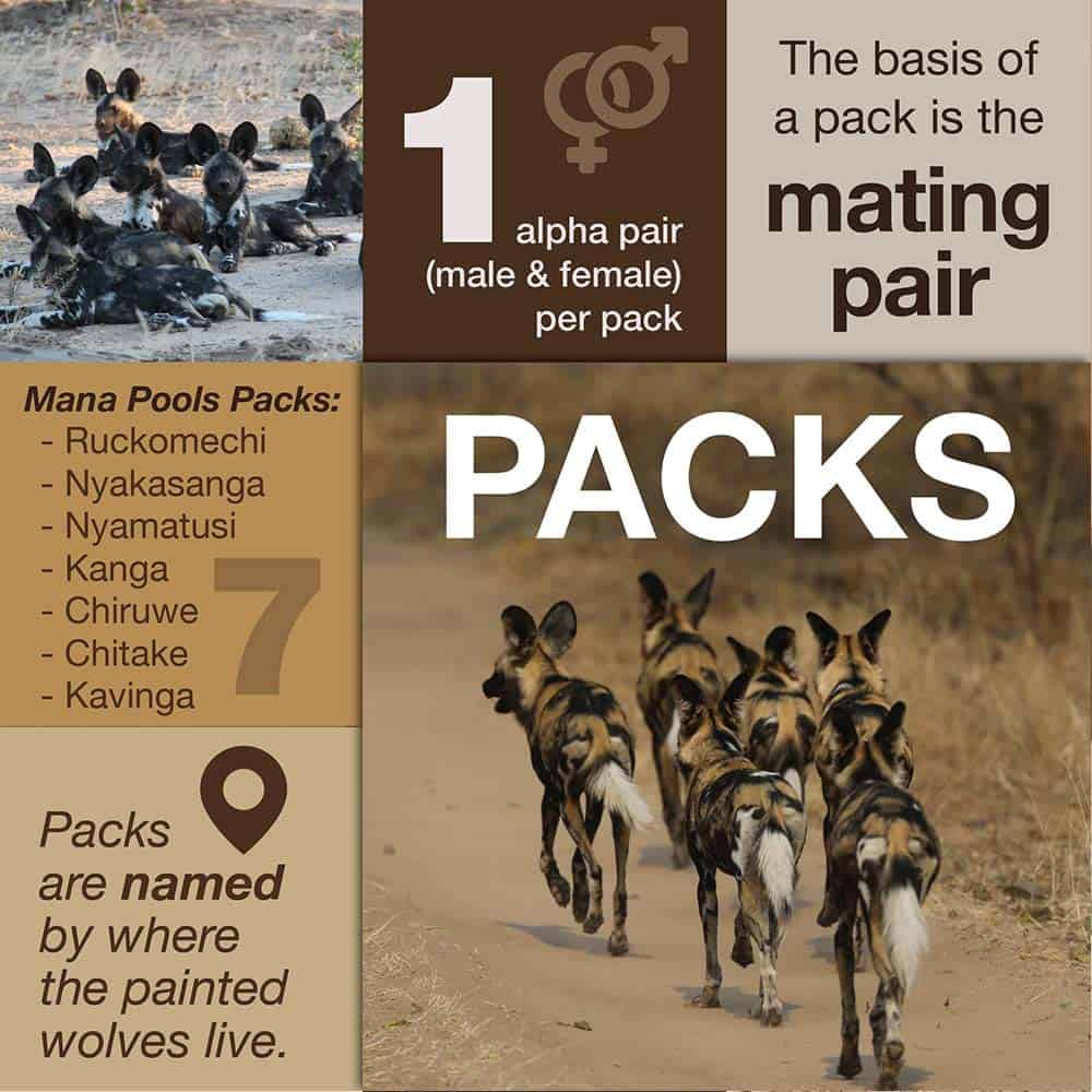 Facts About Painted Wolves Packs