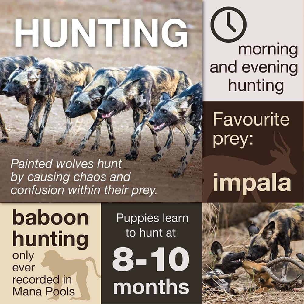 How Painted Wolves Hunt