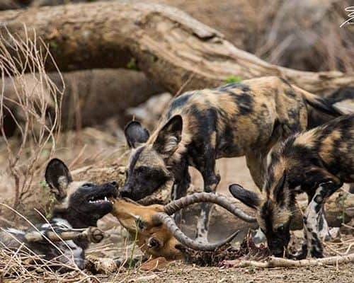 Painted Wolves Hunting- Shot by Annamaria Greggo