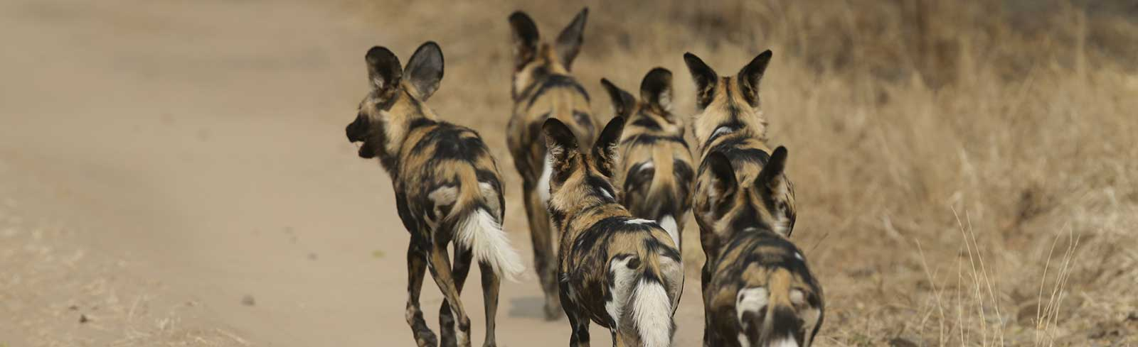 Painted Wolves Packs in Mana Pools