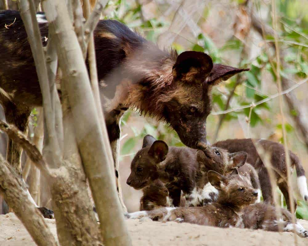 Painted Wolf Denning Mana Pools