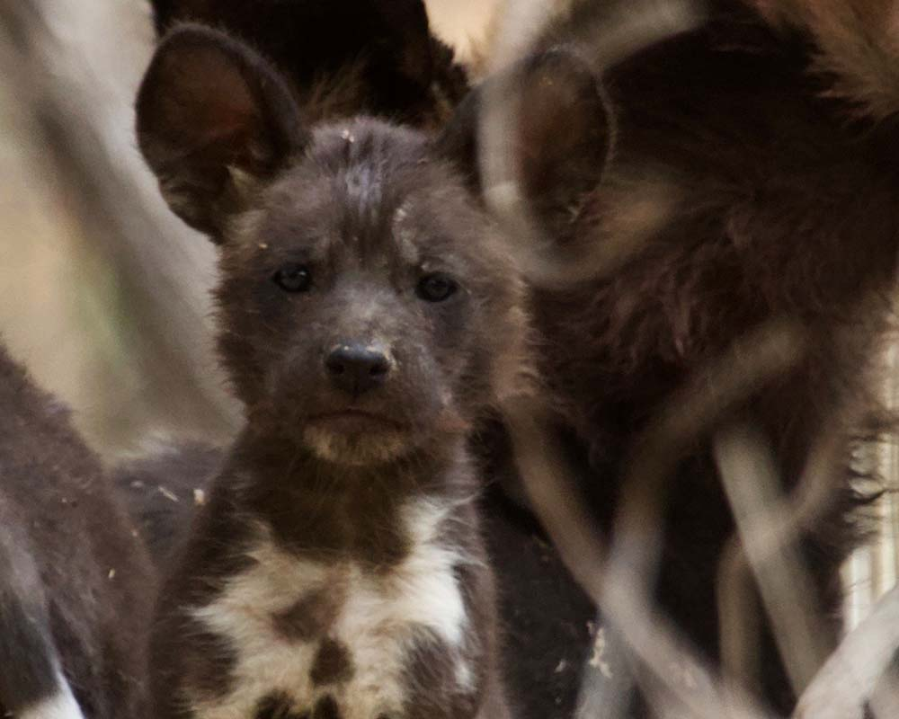 Painted Wolf Pup Mana Pools
