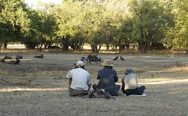 Painted wolves of Mana Pools
