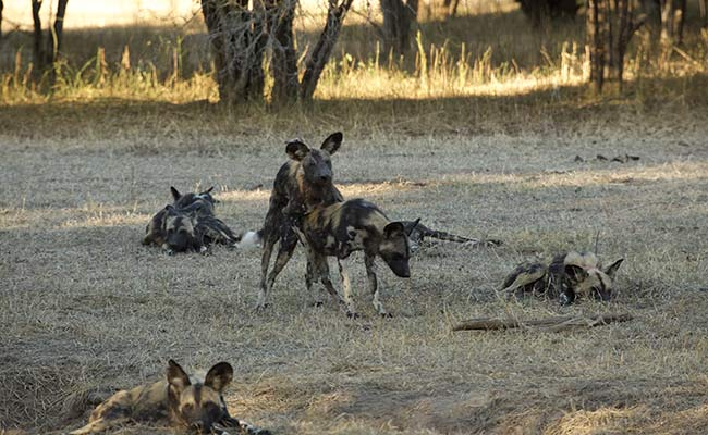 Painted Wolves Mating
