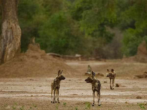 Dispersal Pack Mana Pools Painted Wolves