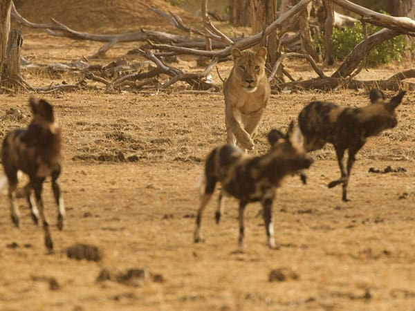 Painted Wolves Mana Pools