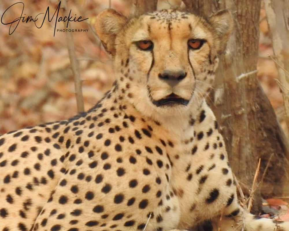 Cheetah Mana Pools