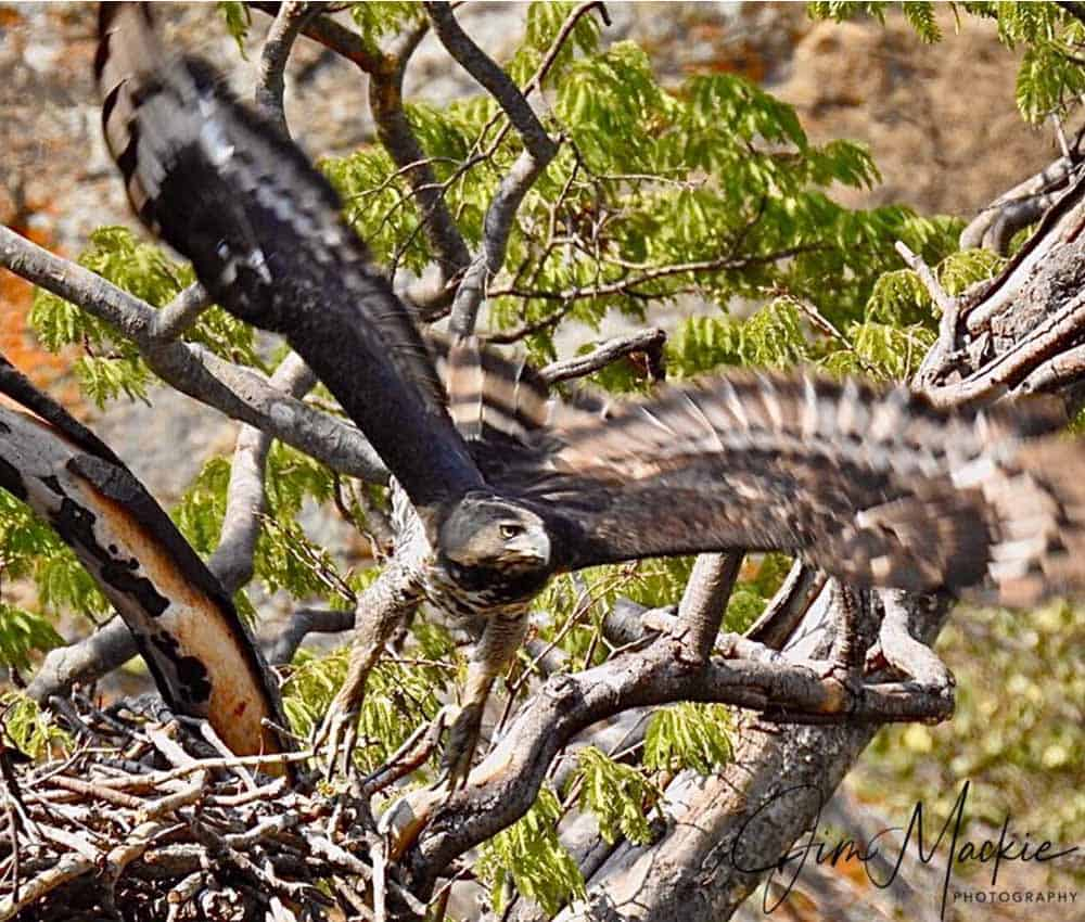 Crowned Eagle Mana Pools