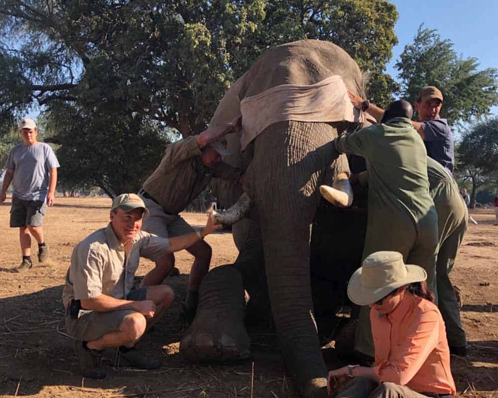 Elephant Collaring Mana Pools 1