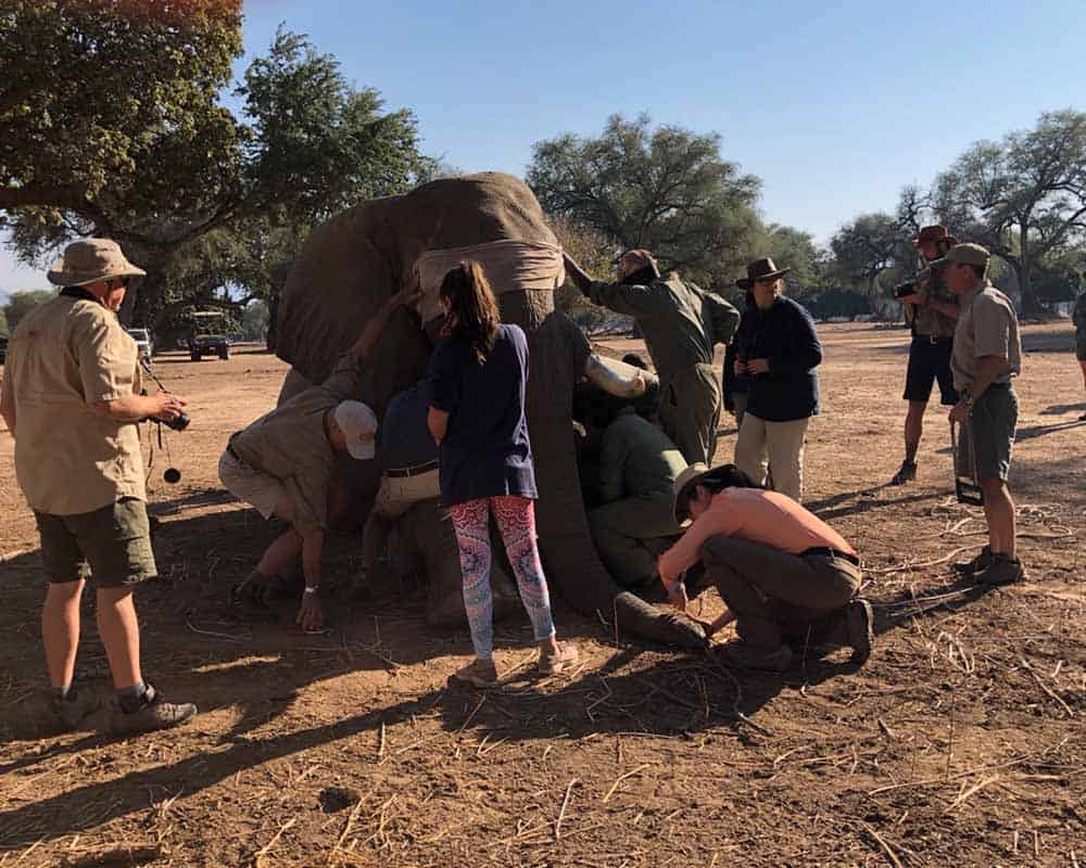 Elephant Collaring Mana Pools