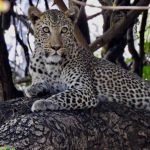 Leopard Kill Mana Pools 1