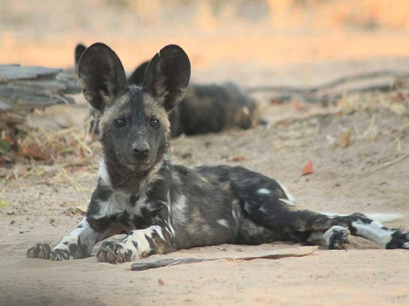 bushlife-safaris-nyakasanga-wild-dog-2