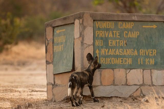 Vundu Camp Wild Dogs Mana Pools