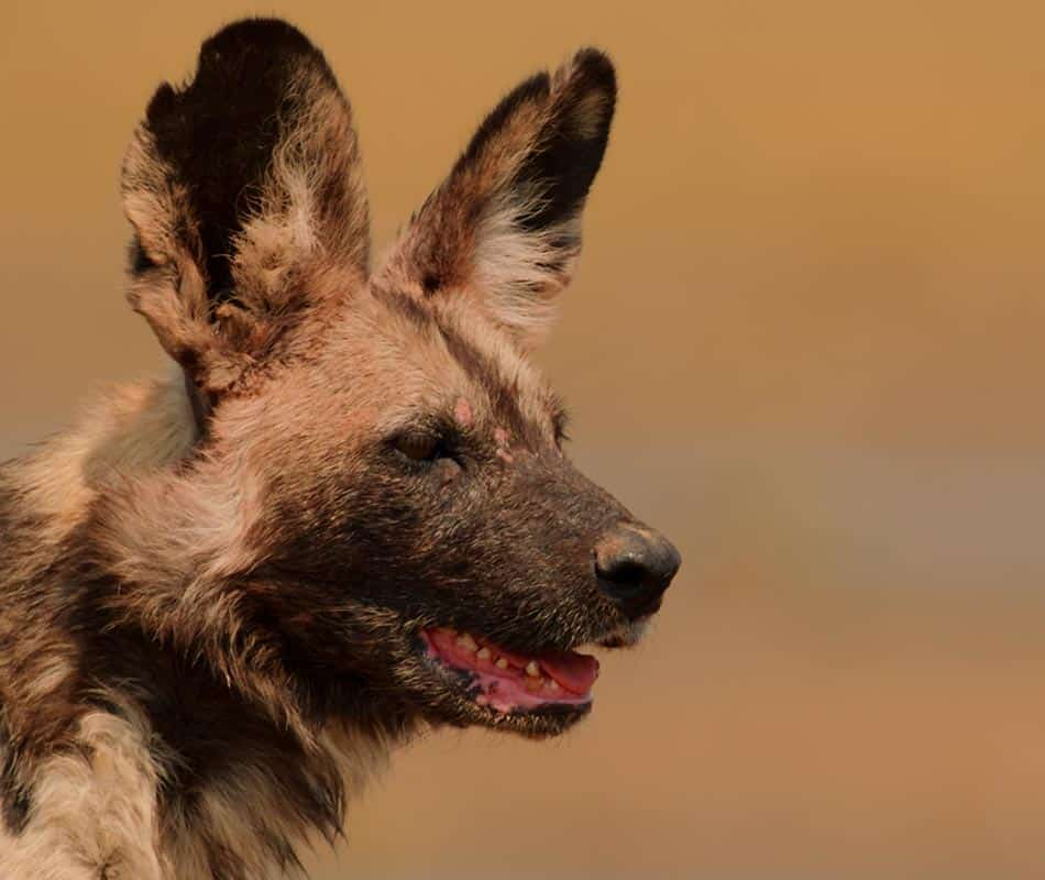 Tait Painted Wolf Bushlife Safaris Mana Pools