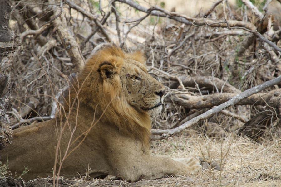 Bushlife Safaris Lion Safari - Sound3