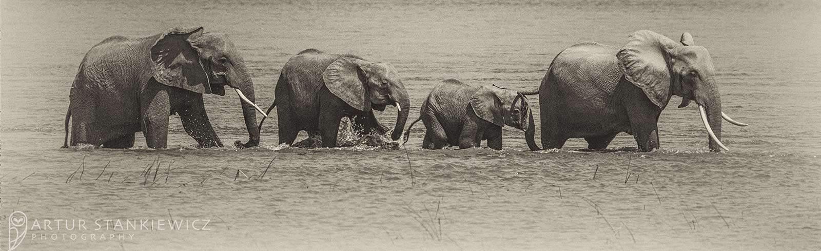 Elephants Artur Stankiewicz Header