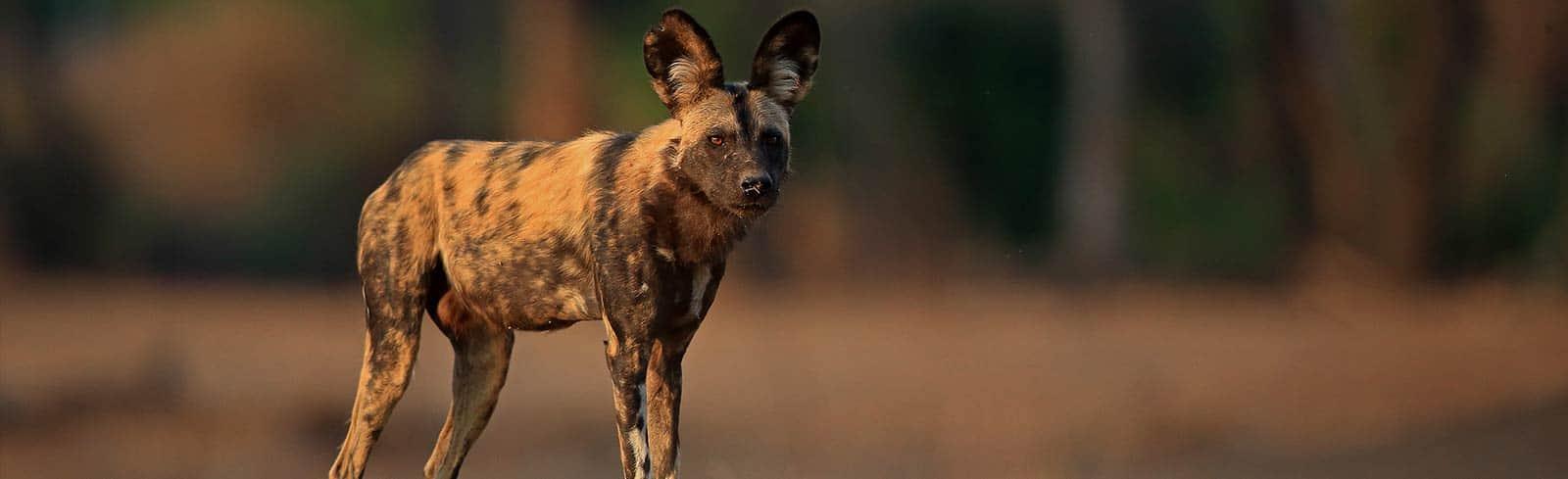 Painted Dog Bret Chrman Wildlife Photography